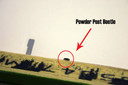 "The powder post beetle in our frame, measuring 1/8"" x 3/64"""